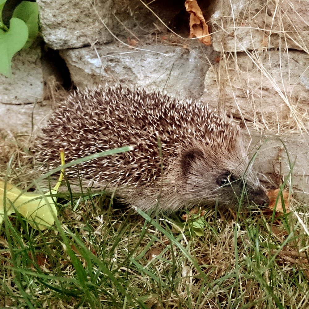 Hedgehog – Success in a Bursledon garden