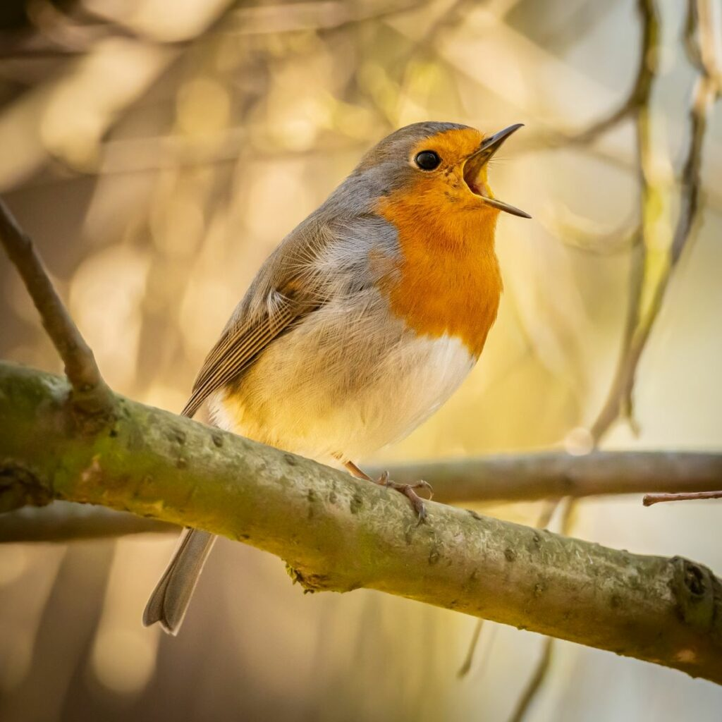 Suburban Safari: RSPB Big Garden Birdwatch
