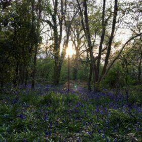 Suburban Safari: The Bluebell Bandwagon